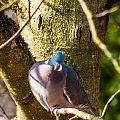 golebie grzywacze .. #ptaki #golebie #grzywacze