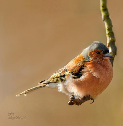 Zieba #ptaki #ogrody alicjaszrednicka-mondritzki