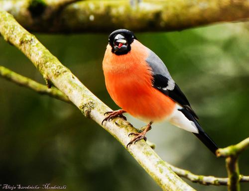 Gil z jezyczkiem:)) #ptaki #przyroda #natura #ogrody