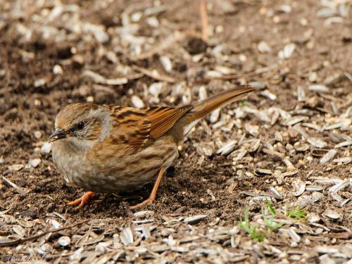Pokrzywnica,/Heckenbraunelle/ #ptaki #ogrody #dokarmianie #natura #przyroda #alicjaszrednicka
