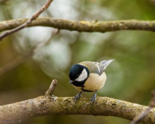 Bogatka,- #ptaki #ogrody #natura #przyroda