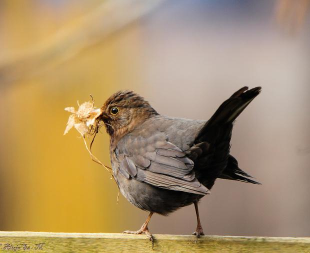 Idzie Wiosna dużymi krokami ,bo ptaki budują gniazda.Pani Kos też wzięła się do pracy:- #wiosna #ptaki #Kos #samiczka #natura #przyroda