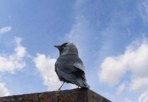 Kawka,- #wrona #ptaki #przyroda #natura