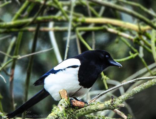 Sroki tez lubia orzechy:) #wiosna #ptaki #sroki #natura #przyroda