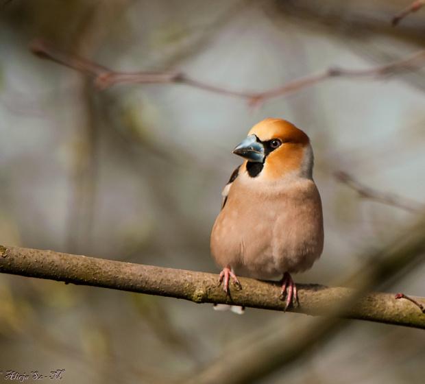 Grubodziób,-wiosna,ptaki spiewaja,drtzewach drzewa listki wypuszczaja.. #zwierzeta #ptaki #wiewiorki #przyroda #natura