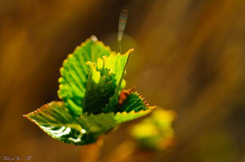 Listki Hortensji w kolorowo lśniącej ślinie pająków :) ,- wiosna2018-ogrody #krzewy #natura #przyroda