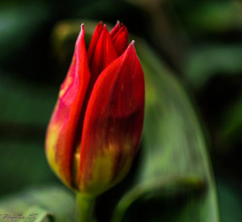 Tulipany niektore w pelni rozwitniety ,a niektore dopiero paki maja.. #kwiaty #tulipany #ogrody #natura #przyroda