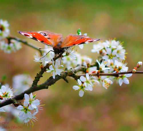 Motyl Pawie oczko,(Rusałka,pawik), na kwiatach Glogu,- #Pawieoczko #motyle #krzewy #glogi -kwiaty #wiosna #natura #przyroda