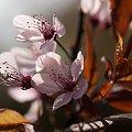 Śliwa wiśniowa czerwonolistna,-..#kwiaty #natura #przyroda #ogrody #macro