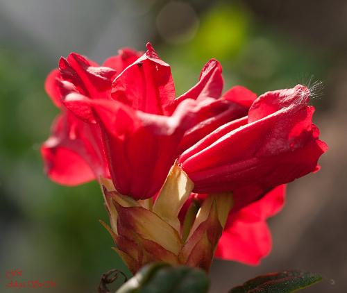 Różanecznik ,Rhododendron czerwony,- #kwiaty #ogrody #przyroda #natura