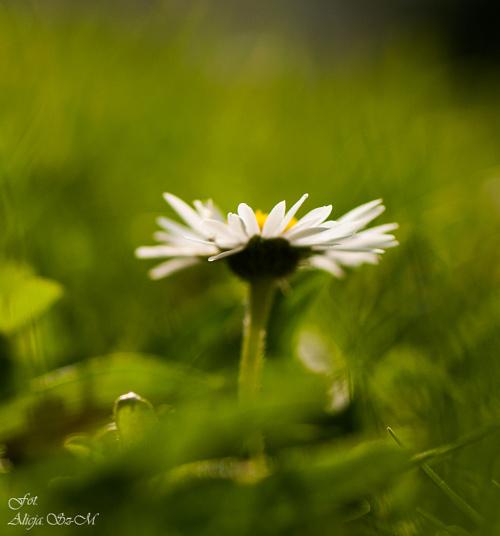 stokrotki malenkie trawnikowe,- #kwiaty #ogrody #przyroda #natura