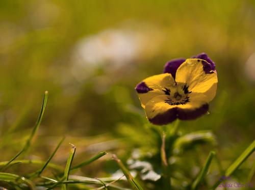 fiolek polny, dziki bratek, fiolek drobnokwiatowy,-wyrosly same w tym roku na trawniku:).- #bratki #kwiaty #fiolek #polny #dzikibratek #fiolek #drobnokwiatowy
