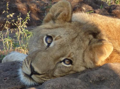 Z wizytą u lwiątek