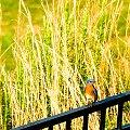 Błękitnik rudogardły (Sialia sialis) – gatunek ptaka z rodziny drozdowatych (Turdidae). #ptaki #Błękitnik #rudogardły #alicjaszrednicka