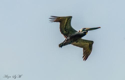 Pelikan- #pelikany #ptaki #plaże #atlantyk #alicjaszrednicka