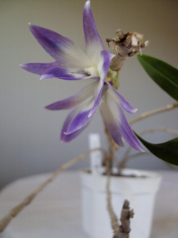 D. victoriae reginae