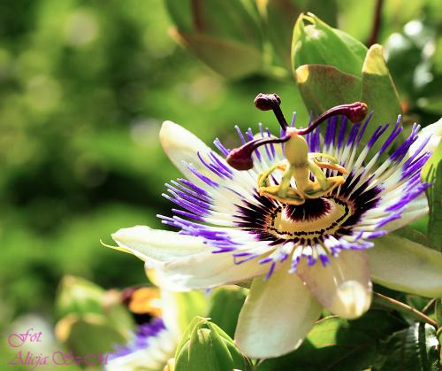 """Zarówno naukowe nazwisko """"Passiflora"""", jak i niemiecka nazwa """"Passion Flower"""" maja na celu upamietnienie meki, ukrzyzowania i cierpienia Jezusa. w 1663 r. ojciec jezuita Ferrari ze Sieny nadal roslinie nazwe lacinska: """"Passions.."""