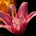 Lilie w moim ogrodzie-. #kwiaty #lile #ogroy #przyroda #flora #alicjaszrednicka #macro