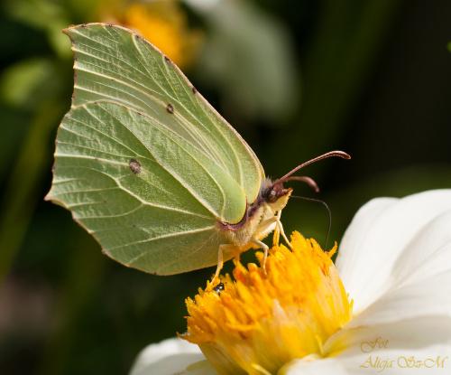Cytrynek.- #motyle #cytrynek #ogrody #lato #przyroda alicjaszrednicka-mondritzki