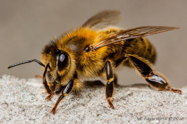 pszczoła #pszczoła #makro #owady