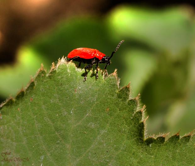 Insekt wygryzajacy dziry w lisciach Lilii...paskuda.. #insekty #ogrodowe #ogrody #kwiaty