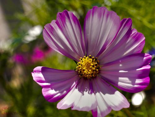 kwiaty w moim ogrodzie,, #kwiaty #ogrody #lato2018 #natura #alicjaszrednicka