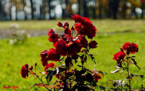 Jesienne szkarłatne róże w f/2.8