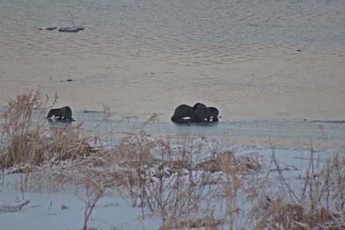 Wracając do domu w ostatniej chwili zauwarzyłam wydry :)