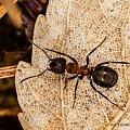 Mrówka Rudnica #mrówki #mrówka #rudnica #makro #owady