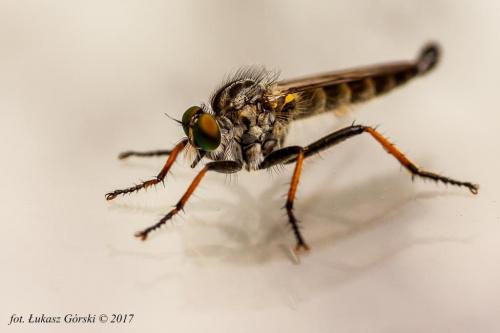 Łowik - latający zabójca #łowik #owady #makro