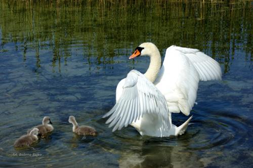 Łabędzia rodzinka