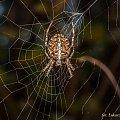 Krzyżak łąkowy #pająk #krzyżak #łąkowy #sieć #makro #pajęczaki