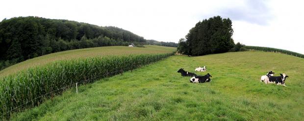 krowy jak krowy-leza :)) #krajobrazy #natura #alicjaszrednicka