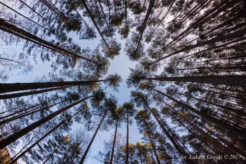 sięgając nieba ... #las #drzewa