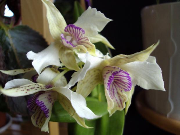 D. eximium x atroviolaceum
