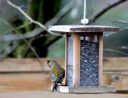 Pora obiadowa ,szkoda ,ze niesloneczna:( te ptaki normalnie sie u mnie stoluja o odpowiednich porach i zawsze tych samych :)) #natura #przyroda #ptaki #alicjaszrednicka,zięby,greenfinch