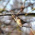 czyzby juz zaczyna gniazdo budowac? ta lagodna zima nawet ptaki wprowadza w blad:)) #ptaki #natura #alicjaszrednicka